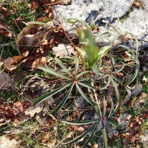 Photographie n°2174103 du taxon Helleborus foetidus L. [1753]