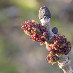 Fraxinus excelsior L. [1753] (Frêne commun)