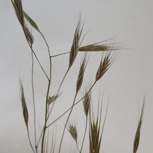 Photographie n°2174232 du taxon Anisantha sterilis (L.) Nevski [1934]