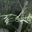 Liliane Roubaudi - Vicia sativa subsp. angustifolia (L.) Batt. [1889]