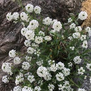 Photographie n°2174550 du taxon Brassicaceae