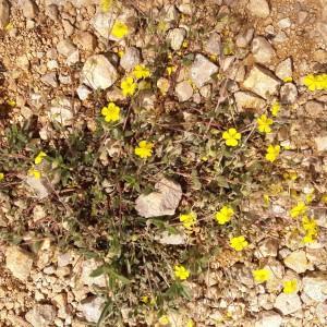 Photographie n°2174703 du taxon Helianthemum Mill.