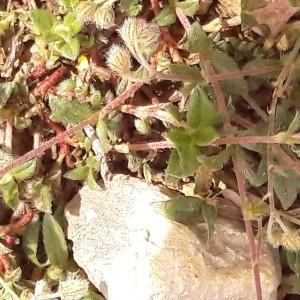 Photographie n°2174704 du taxon Helianthemum Mill.