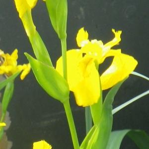 Photographie n°2174794 du taxon Iris pseudacorus L. [1753]