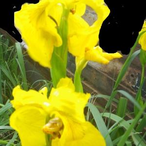 Photographie n°2174798 du taxon Iris pseudacorus L. [1753]