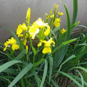 Photographie n°2174799 du taxon Iris pseudacorus L. [1753]