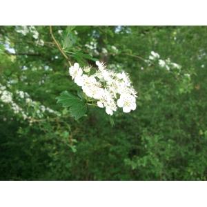 Crataegus rosiformis Janka (Aubépine à feuilles en éventail)