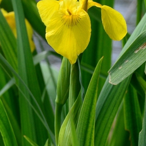 Photographie n°2175080 du taxon Iris pseudacorus L. [1753]