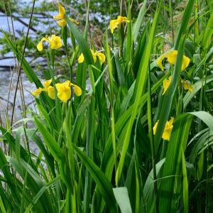 Photographie n°2175081 du taxon Iris pseudacorus L. [1753]