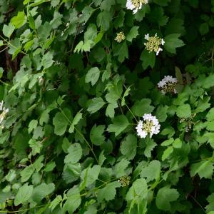 Photographie n°2175087 du taxon Viburnum opulus L. [1753]