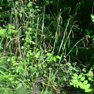 Photographie n°2175144 du taxon Carex pendula Huds.