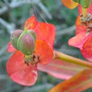 Photographie n°2175311 du taxon Euphorbia dendroides L. [1753]