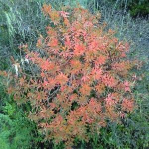 Photographie n°2175314 du taxon Euphorbia dendroides L. [1753]
