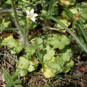 Photographie n°2175592 du taxon Saxifraga granulata L.