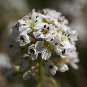 Thlaspi caerulescens J.Presl & C.Presl (Tabouret bleuâtre)
