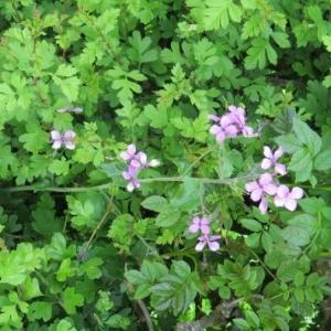 Photographie n°2175848 du taxon Lunaria annua L. [1753]