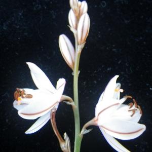 - Asphodelus fistulosus L.