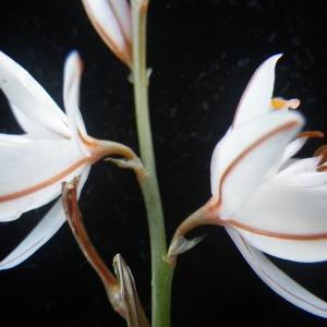 - Asphodelus fistulosus L. [1753]