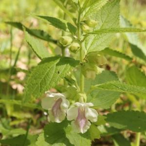 Photographie n°2175946 du taxon Melittis melissophyllum L. [1753]