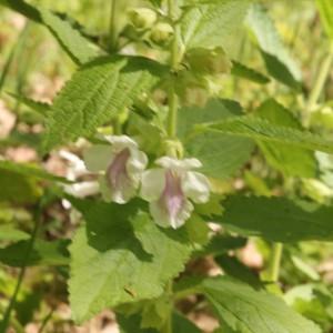 Photographie n°2175948 du taxon Melittis melissophyllum L. [1753]