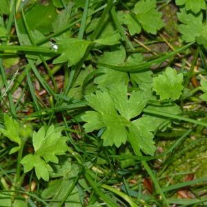 Photographie n°2176331 du taxon Ranunculus bulbosus L. [1753]