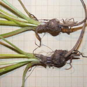 Photographie n°2176341 du taxon Ranunculus bulbosus L. [1753]