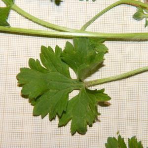 Photographie n°2176344 du taxon Ranunculus bulbosus L. [1753]