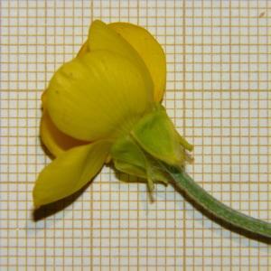 Photographie n°2176345 du taxon Ranunculus bulbosus L. [1753]