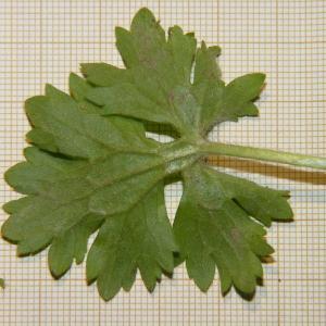 Photographie n°2176350 du taxon Ranunculus bulbosus L. [1753]