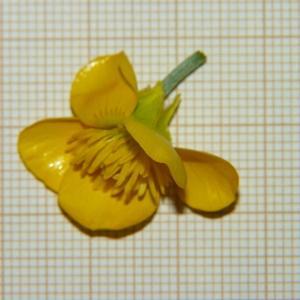 Photographie n°2176351 du taxon Ranunculus bulbosus L. [1753]