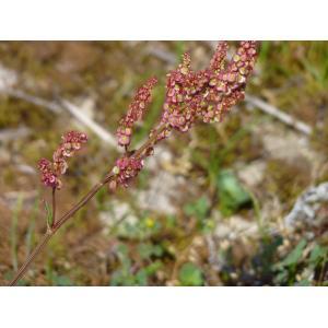 Rumex acetosa subsp. biformis (Lange) Castrov. & Valdés Berm. (Oseille)