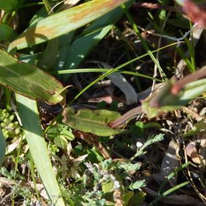 Photographie n°2176584 du taxon Rumex acetosa subsp. biformis (Lange) Castrov. & Valdés Berm. [1976]