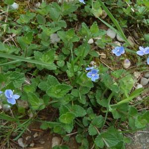 Photographie n°2177174 du taxon Veronica chamaedrys L. [1753]