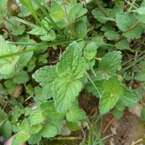 Photographie n°2177176 du taxon Veronica chamaedrys L. [1753]