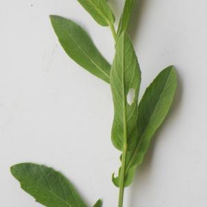 Photographie n°2177300 du taxon Centaurea sicula L. [1753]
