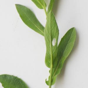 Photographie n°2177301 du taxon Centaurea sicula L. [1753]