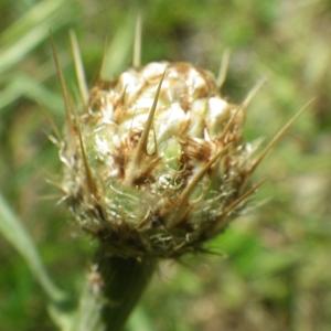 Photographie n°2177304 du taxon Centaurea sicula L. [1753]