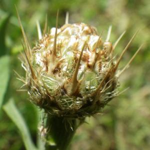 Photographie n°2177305 du taxon Centaurea sicula L. [1753]