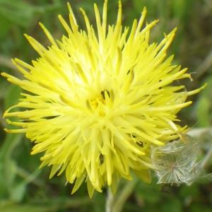 Photographie n°2177306 du taxon Centaurea sicula L. [1753]