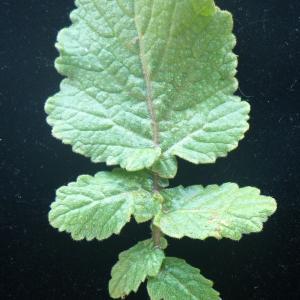 Photographie n°2177410 du taxon Hirschfeldia incana (L.) Lagr.-Foss. [1847]