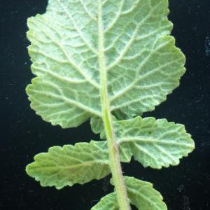 Photographie n°2177413 du taxon Hirschfeldia incana (L.) Lagr.-Foss. [1847]