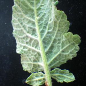 Photographie n°2177416 du taxon Hirschfeldia incana (L.) Lagr.-Foss. [1847]