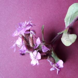 Photographie n°2177465 du taxon Saponaria ocymoides L.