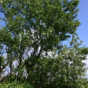 Photographie n°2177492 du taxon Populus nigra L.
