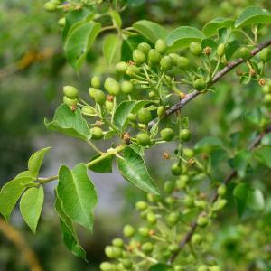 Photographie n°2177540 du taxon Prunus mahaleb L.