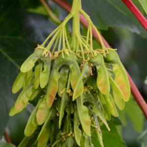 Photographie n°2177617 du taxon Acer pseudoplatanus L.