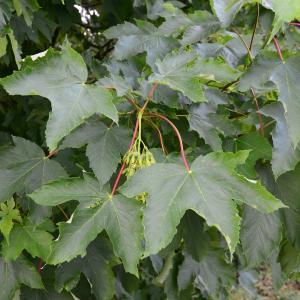 Photographie n°2177618 du taxon Acer pseudoplatanus L.