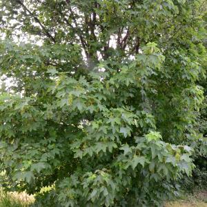 Photographie n°2177619 du taxon Acer pseudoplatanus L.
