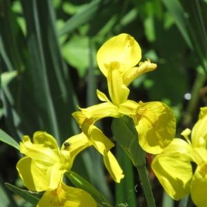 Photographie n°2177667 du taxon Iris pseudacorus L. [1753]