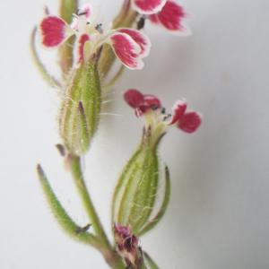 Photographie n°2177699 du taxon Silene gallica subsp. quinquevulnera (L.) Á.Löve & D.Löve [1961]